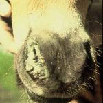 Nasal discharge in horse with round worm